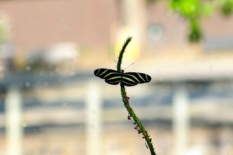 Butterfly_Zebra Heliconian_HDZoo_DON1747