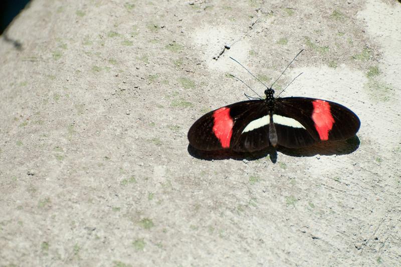 Butterfly_Heliconius Erato_DSC2533