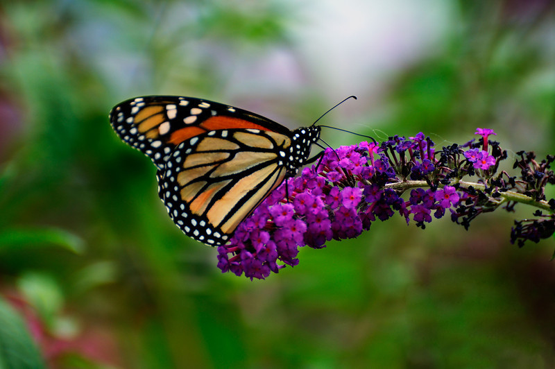 Butterfly_Monarch_Haworth Park_DON2154