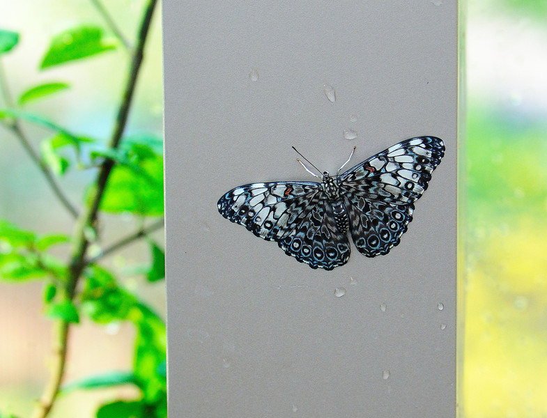 Butterfly_Blue Cracker_HDZoo_DON1761