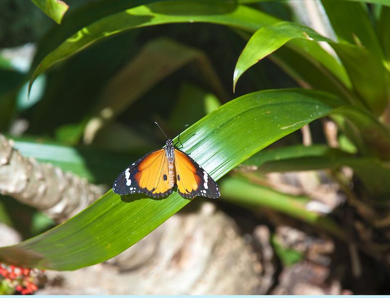 Butterfly_Plain Tiger_DDD5058