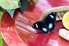 Butterfly_The Great Egg Fly_DSC2446