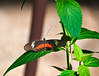 Butterfly_Mexican Heliconian_DDD5047