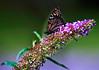 Butterfly_Monarch_Haworth Park_DDD2310