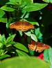 Butterfly_Mexican Silverspot_DDD5074