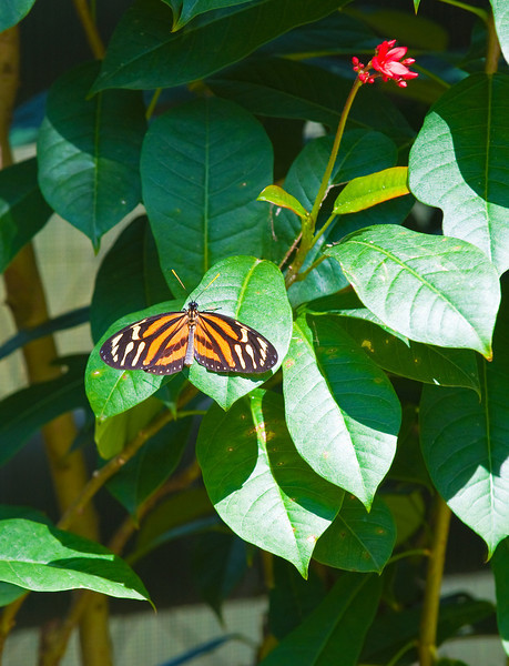 Butterfly_Large Tiger_DDD5155