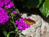 Butterfly_Mexican Silverspot_DDD5187