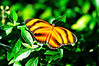 Butterfly_Banded Orange Heliconian_HDZoo_DON1723