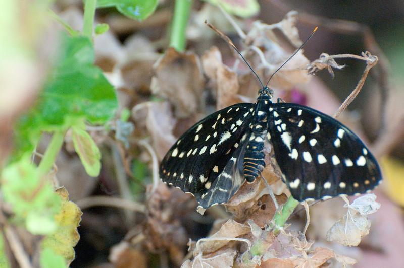 Butterfly_The Archduke_DSC2425