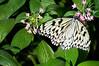 Butterfly_Paper Kite_DSC2532