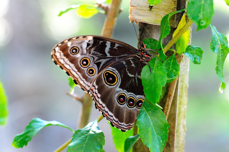 Butterfly_Common Morpho_HDZoo_DON1725_1