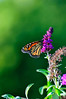 Butterfly_Monarch_Haworth Park_DSC2229