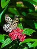 Butterfly_Paper Kite_DDD5073