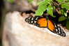 Butterfly_Heliconius Hecale_DSC2611