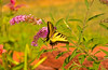 Butterfly_Eastern Tiger Swallowtail_Mahoney Park tif