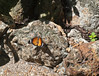Butterfly_Plain Tiger_DDD5134