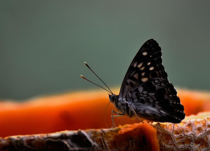Butterfly_Hackberry Emperor_DON2023