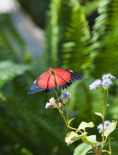 Butterfly_Tiger Longwing_DDD5285