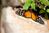 Butterfly_Heliconius Hecale_DSC2612