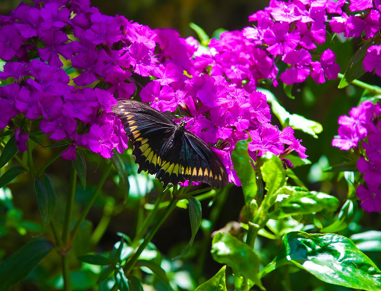 Butterfly_Polydamas Swallowtail_DDD5299