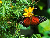 Butterfly_Tiger Longwing_DDD5168