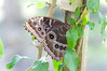 Butterfly_Common Morpho_HDZoo_DON1725