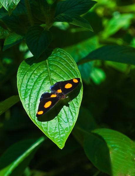 Butterfly_Grecian Shoemaker_DDD5070