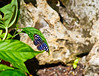 Butterfly_Mexican Blue_DDD5158