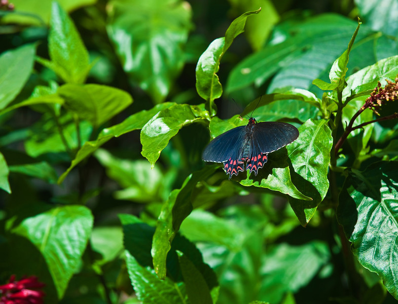 Butterfly_Ruby-spotted Swallowtail_DDD5116