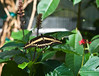 Butterfly_Giant Swallowtail_DDD5161