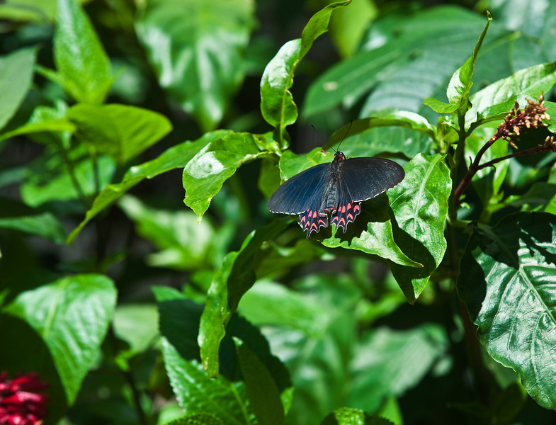 Butterfly_Ruby-spotted Swallowtail_DDD5118