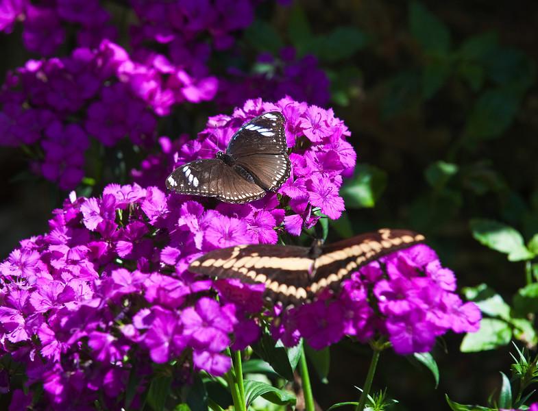 Butterfly_Giant Swallowtail plus UnID_DDD5239