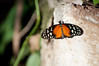 Butterfly_Heliconius Hecale_DSC2585