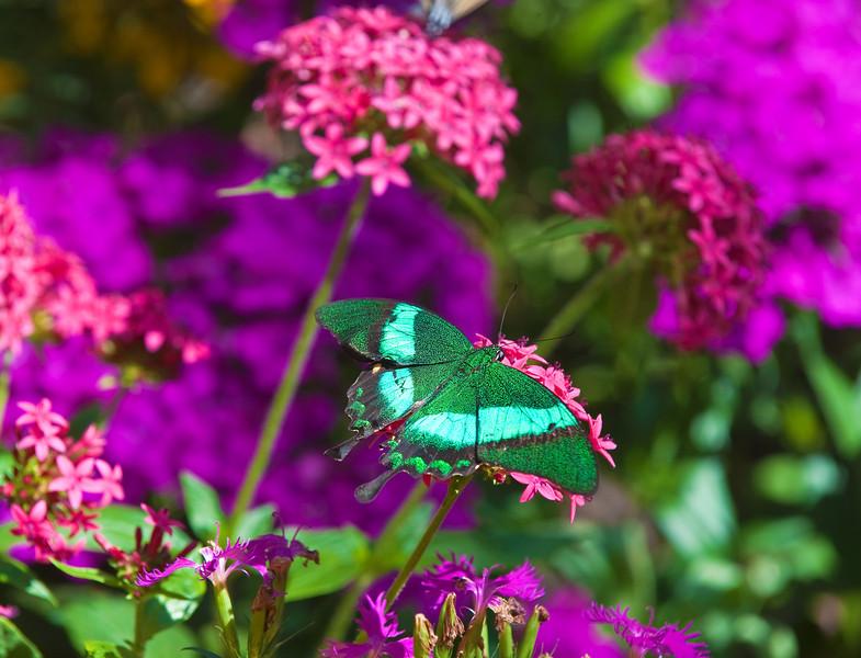 Butterfly_Emerald Swallowtail_DDD5328