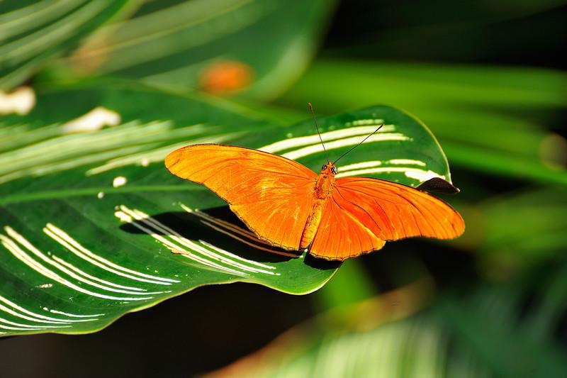 Butterfly_Julia Heliconian_HDZoo_DDD2147