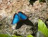 Butterfly_Blue Morpho_DDD5130