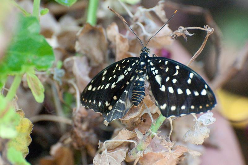 Butterfly_The Archduke_DSC2424