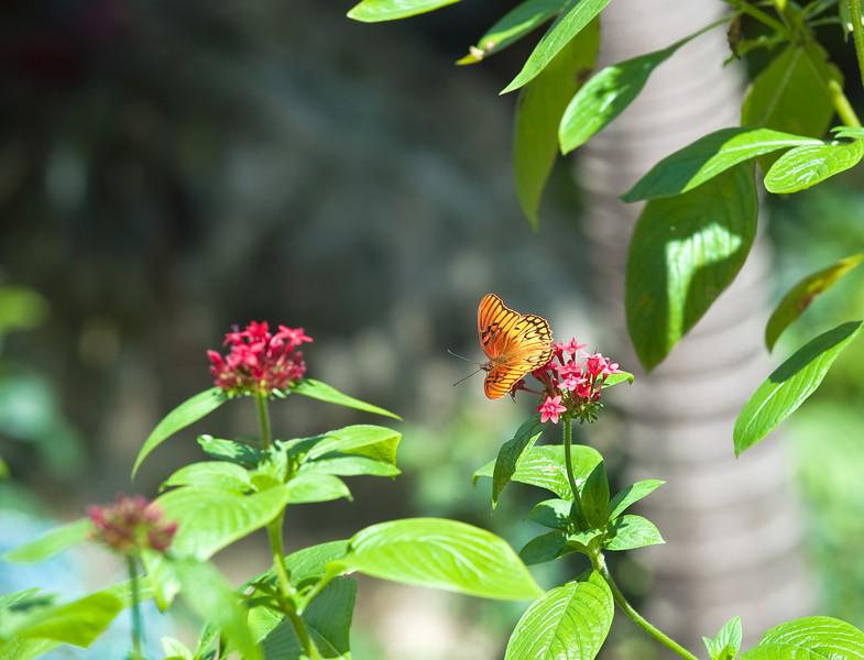 Butterfly_Mexican Silverspot_DDD5094