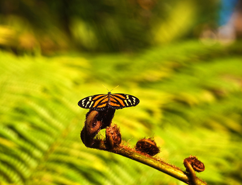 Butterfly_Large Tiger_DDD5335