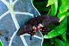 Butterfly_Rose Spotted Swallowtail_HDZoo_DON1738