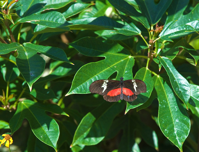 Butterfly_Mexican Heliconian_DDD5102