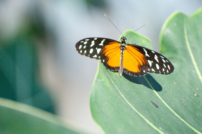 Butterfly_Heliconius Hecale_DSC2597