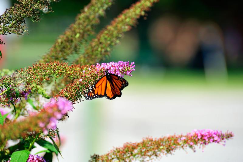 Butterfly_Monarch_Haworth Park_DDD2236