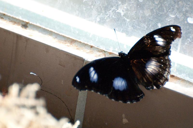 Butterfly_The Great Egg Fly_DSC2574