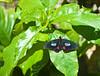 Butterfly_Pink Cattleheart_DDD5138