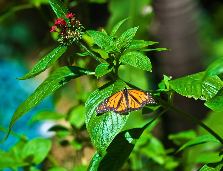 Butterfly_Monarch_DDD5081