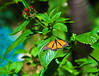 Butterfly_Monarch_DDD5081