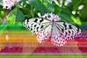 Butterfly_Paper Kite_DSC2478