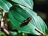 Butterfly_Grecian Shoemaker_DDD5105