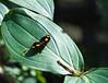 Butterfly_Grecian Shoemaker_DDD5106